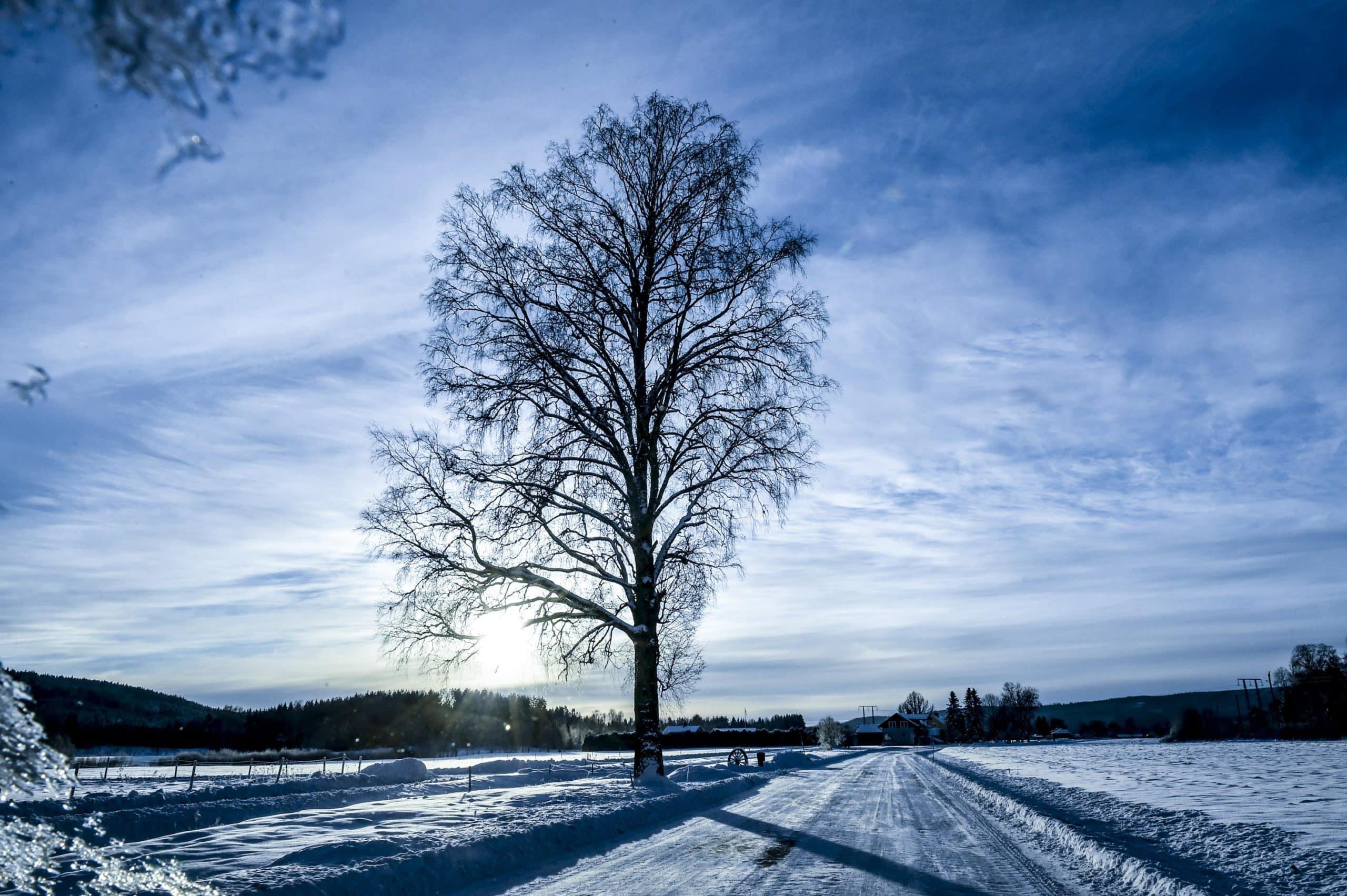 En ensam björk står bredvid den snötäckta bilvägen Mellan Blia och Ransäter.